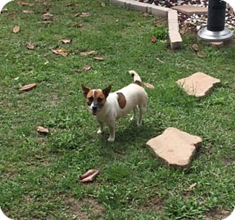 Jack Russell Terrier Dog for adoption in Houston, Texas - Miss Sparta in Houston