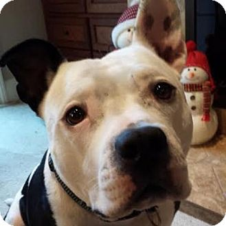 Pit Bull Terrier Dog for adoption in Pleasant Hill, California - Yogi