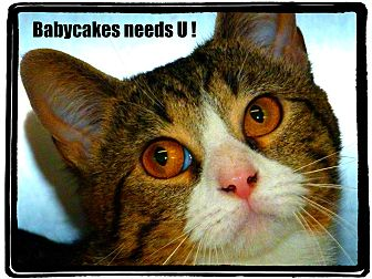 Domestic Shorthair Cat for adoption in Greenville, Ohio - Babycakes