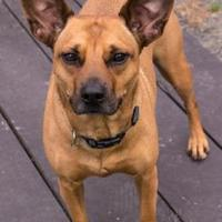 Miniature Pinscher Mix Dog for adoption in Fairfax, Virginia - Zeus