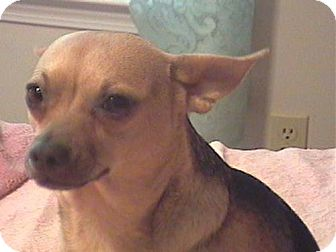 Chihuahua Mix Dog for adoption in Anderson, South Carolina - Wheezer