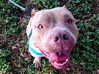 Pit Bull Terrier Mix Dog for adoption in Austin, Texas - VERSACE