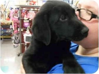 Labrador Retriever Mix Puppy for adoption in Lonedell, Missouri - Bob