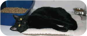 Domestic Shorthair Cat for adoption in McMinnville, Oregon - Lancelot