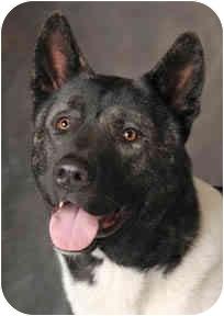 Akita Dog for adoption in Chicago, Illinois - Mack