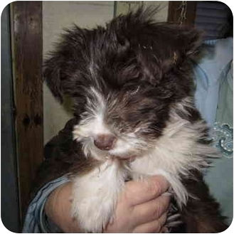 Terrier (Unknown Type, Small) Mix Puppy for adoption in Beacon, New York - Annie