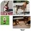 Photo 2 - Chihuahua/Miniature Pinscher Mix Dog for adoption in Corte Madera, California - Bingo