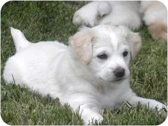 Australian Shepherd/Labrador Retriever Mix Puppy for adoption in Yorba Linda, California - Nilla's pups, 3 females