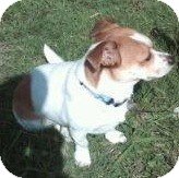 Corgi/Jack Russell Terrier Mix Dog for adoption in Lomita, California - Andy