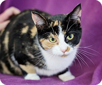 Domestic Shorthair Cat for adoption in Port Hope, Ontario - Blossom