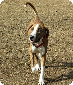 Plott Hound Mix Dog for adoption in Starkville, Mississippi - Gunner