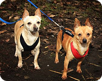 Chihuahua Mix Dog for adoption in Bellingham, Washington - Maby