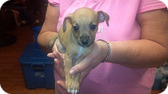 Chihuahua Puppy for adoption in Hazard, Kentucky - Walnut