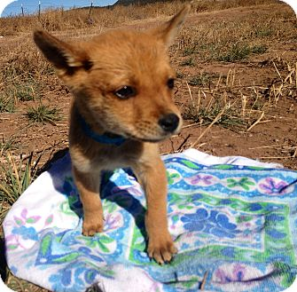Shepherd (Unknown Type) Mix Puppy for adoption in Westminster, Colorado - Isabel