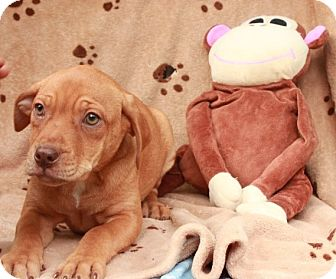Labrador Retriever Mix Puppy for adoption in Salem, New Hampshire - Peanut