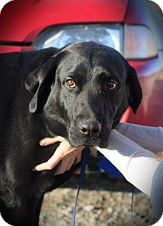 Labrador Retriever Dog for adoption in West Richland, Washington - Kekoa