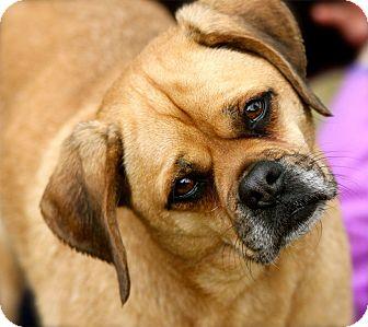 Pug/Beagle Mix Dog for adoption in Williston, Vermont - Katy
