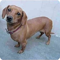 Adopt A Pet :: Brown Sugar 2241 - San Jose, CA