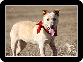Cattle Dog/Labrador Retriever Mix Dog for adoption in Biddeford, Maine - Ki