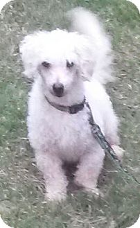 Poodle (Miniature)/Bichon Frise Mix Dog for adoption in Alpharetta, Georgia - Dewey