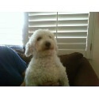 Bichon Frise Dog for adoption in Long Beach, California - Dolly