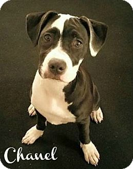 American Pit Bull Terrier Dog for adoption in Des Moines, Iowa - Chanel