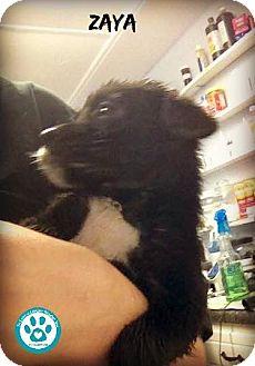 Labrador Retriever/Pointer Mix Puppy for adoption in Kimberton, Pennsylvania - Zaya