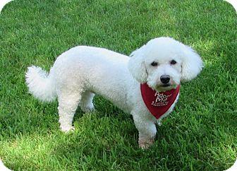 Bichon Frise Dog for adoption in Barneveld, Wisconsin - Noah