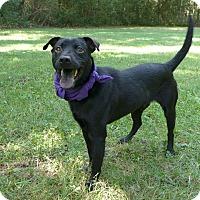 Adopt A Pet :: Henry - Mocksville, NC