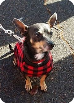 Chihuahua/Dachshund Mix Dog for adoption in Chalfont, Pennsylvania - Papi