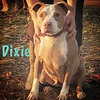American Staffordshire Terrier/American Pit Bull Terrier Mix Dog for adoption in Covington, Tennessee - Dixie