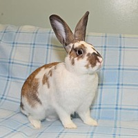 Adopt A Pet :: Finley - Chesterfield, MO