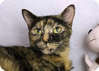 Domestic Shorthair Cat for adoption in Chicago, Illinois - Fritzie