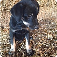 Adopt A Pet :: Brady - Hamburg, PA