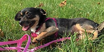 Dachshund/Chihuahua Mix Dog for adoption in Columbia, Maryland - Brownie - great on a leash!