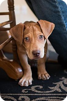 Basset Hound/Labrador Retriever Mix Puppy for adoption in Albuquerque, New Mexico - Finn