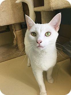 Domestic Shorthair Cat for adoption in Newburgh, Indiana - Yuki