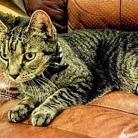 Adopt A Pet :: Yana, wonderful kitty needs new or temp BFF! - Brooklyn, NY