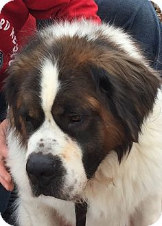 St. Bernard Dog for adoption in Denver, Colorado - Brix