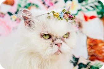 Persian Cat for adoption in Fort Lauderdale, Florida - Gidget