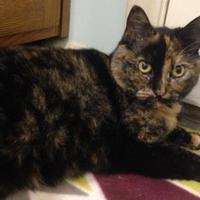 Domestic Shorthair/Domestic Shorthair Mix Cat for adoption in Anderson, Indiana - Carmel