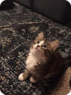Domestic Longhair Kitten for adoption in Valley Park, Missouri - Romeo