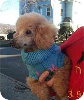 Poodle (Toy or Tea Cup) Dog for adoption in Naugatuck, Connecticut - Mimsy