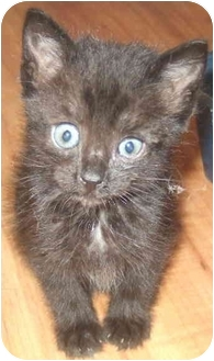 Domestic Shorthair Kitten for adoption in Tracy, California - Suki-ADOPTED