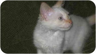 Siamese Kitten for adoption in Chattanooga, Tennessee - Blondie