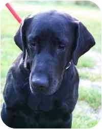 Labrador Retriever Dog for adoption in Walker, Michigan - Shelby