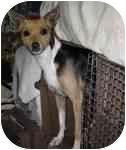 Rat Terrier Mix Dog for adoption in Topeka, Kansas - Zuni