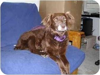 Boykin Spaniel Mix Dog for adoption in Avon, New York - Cocoa