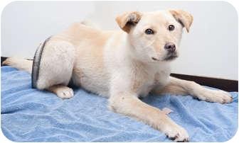 Husky/Labrador Retriever Mix Dog for adoption in Westfield, New York - Matisse