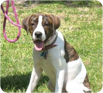 Pointer Mix Puppy for adoption in Kingwood, Texas - Tessa